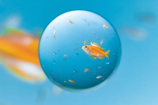 「悩める金魚玉」